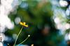 up to the September sky (moaan) Tags: life leica flower sign digital hope 50mm flora dof bokeh f10 utata m8 flowering noctilux cosmos 2010 orangecosmos cosmossulphureus inlife leicam8 signofautumn leicanoctilux50mmf10 hopeoflight gettyimagesjapanq1 gettyimagesjapanq2