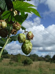Hops on Basing fen. (Man & Crow) Tags: nature hampshire fen basingstoke hops humulus basing humuluslupulus lupulus