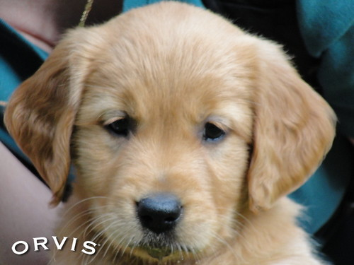 Orvis Cover Dog Contest - Ruby