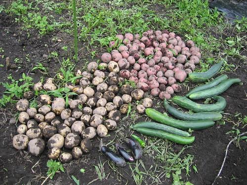 キュウリ、ナス等の収穫 07.7.20 by Poran111