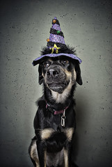 Which Witch? (chad.latta) Tags: rescue dog chien halloween animal costume mix nikon chad witch shepherd gap dressup perro latta kayce d80 thelittledoglaughed ldlportraits