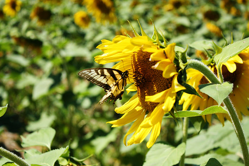 sunflower, butterfly