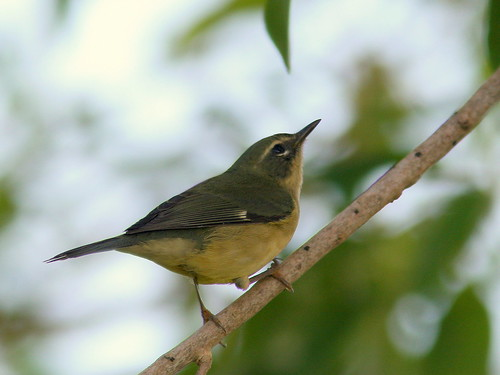 Black-throated Blue Warbler female<br /> 20100916