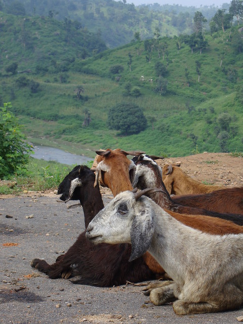 Rajasthan goats (Renoje Village)