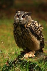 Eagle Owl (BrianReid) Tags: park eos scotland eagle wildlife highland owl kingussie 40d ef200 f28lii ef200f28lii