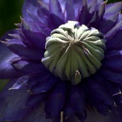 Dark secret (be there...) Tags: blue flower macro nature dark clematis bud blau blume blte dunkel nahaufnahme knospe