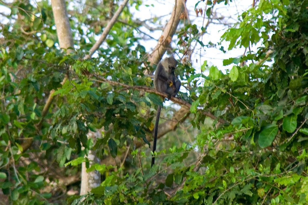 Blue Monkey - Selous Game Reserve, Tanzania