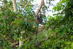 species: Cercopithecus mitis. Blue Monkey - Selous Game Reserve, Tanzania