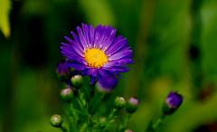 ASTERACEAE (Pascal Kestemont) Tags: flowersarebeautiful excellentsflowers mimamorflowers flickrflorescloseupmacros flickrsportal