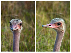 Mugshot (soyignatius) Tags: kenya ostrich mara mugshot avestruz kenia masaimara maasaimara masaimaranationalreserve reservanacionaldemasaimara