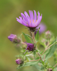 New England Aster At Kensington (JKissnHug - Been busy birding) Tags: autumn purple michigan milford aster kensingtonmetropark newenglandaster asternovaeangliae purpleaster autumn2010