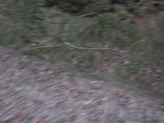 オオセンチコガネ