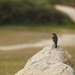 Te pillé!  / Gotcha! (Shawnito) Tags: naturaleza bird nature stone bokeh olympus galicia e1 lugo zuiko roca pancha pájaro ribadeo 50200swd