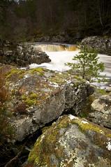 Composed (Leathanach) Tags: trees water pine highlands nikon rocks falls garve blackwaterriver d700 landscapesshotinportraitformat clanflickr