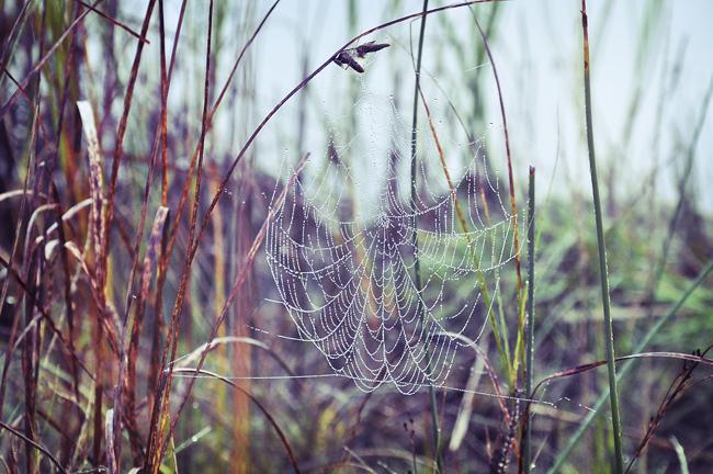 spindelnät i vassen