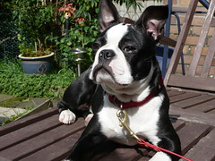 Boston Henry in the sun!