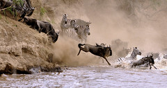 The Crossing of the Mara River....A series of Five  shots  #  1 (keithhull) Tags: nature kenya zebra migration wildebeest maasaimara naturesfinest willife olareorokconservancy