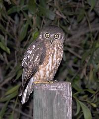 Barking Owl (Ninox connivens) at Fogg Dam (jonclark2000) Tags: bird nt australia northernterritory barkingowl jonclark ninoxconnivens foggdam