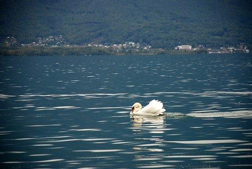 Swan on Lac Leman