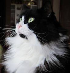 In a trance ... (MaxineToo) Tags: cats pets animals tuxedocats felines blackandwhitecats