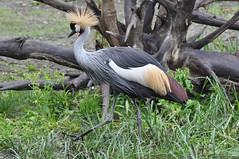 Grey Crowned Crane (Truus & Zoo) Tags: netherlands animals zoo rotterdam blijdorp nederland vulnerable dierentuin greycrownedcrane balearicaregulorum kroonkraanvogel grijzekroonkraan