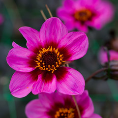 Dahlia (marianboulogne) Tags: park pink dahlia flowers summer paris france flower macro nature fleur fleurs garden europa europe kwiat pary lato francja macroflowerlovers