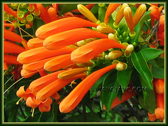 Pyrostegia venusta (Flame Vine, Flaming Trumpet, Orange Trumpet Vine/Creeper, Golden Shower) in Cameron Highlands