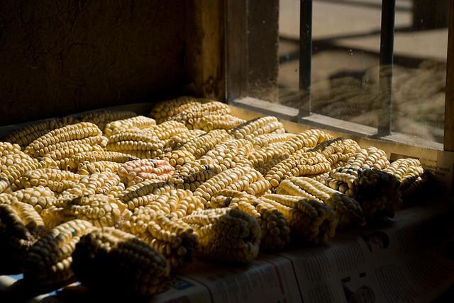 Cosecha de Maiz