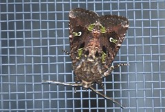 Bristly Cutworm Moth  4
