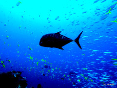 Raging stream (_takau99) Tags: ocean trip travel sea vacation bali holiday fish uw water topv111 pen giant indonesia underwater wide diving olympus topv222 september scubadiving topf10 komodo 2010 trevally topf333 gianttrevally takau99 penlite epl1
