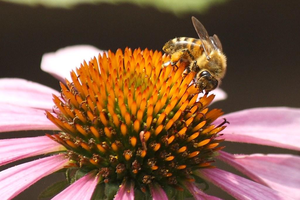 Bee on Echinacea (2)