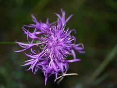 (yvonnepay615) Tags: flower macro nature lumix panasonic mauve g1 45mm esenciadelanaturaleza