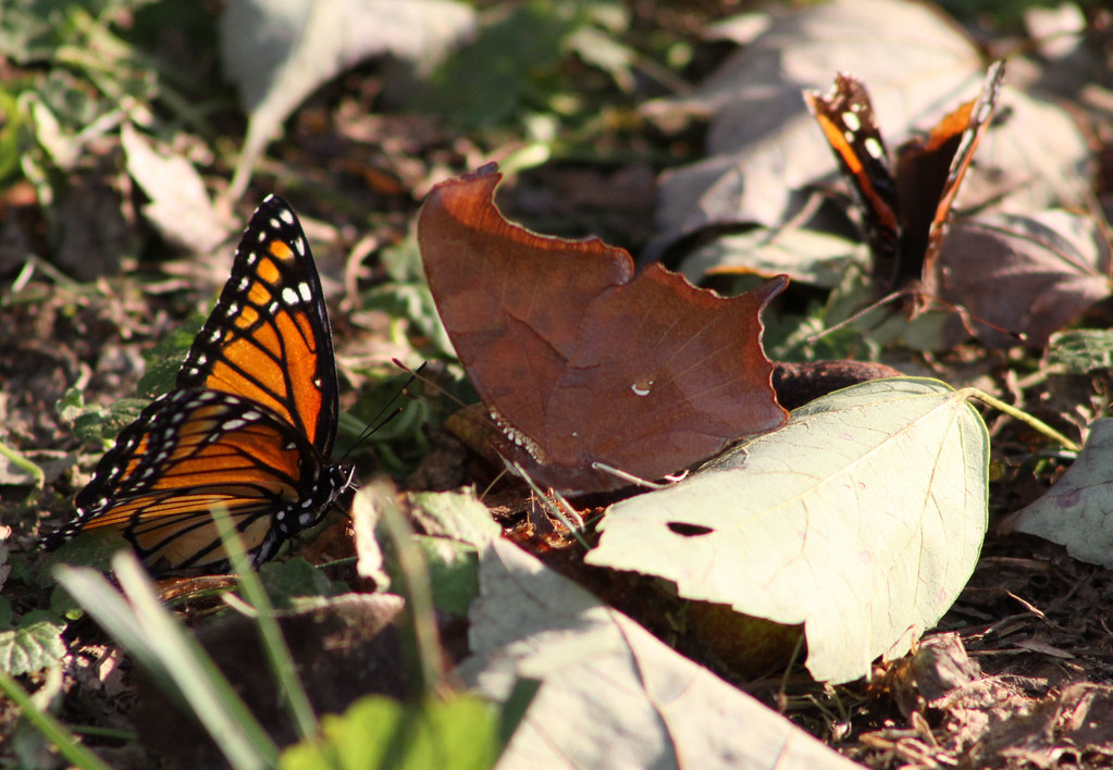 Viceroy -  Eastern Comma - Red Admiral
