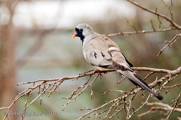 RYALE_African_Dawn_Birds_34