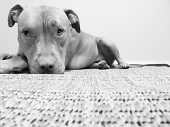 bored pup (photograffin) Tags: black souls creative boredom diamond most even beholds