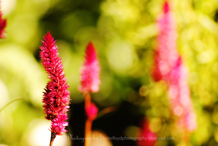 Bristle flowers