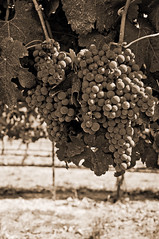 Grapes ..sepia (Kathy OR) Tags: sepia oregon vineyards grapes ashland medford wines charityevent nikond90 southernoregonwines roguevalleywines kathleenhoevetphotography