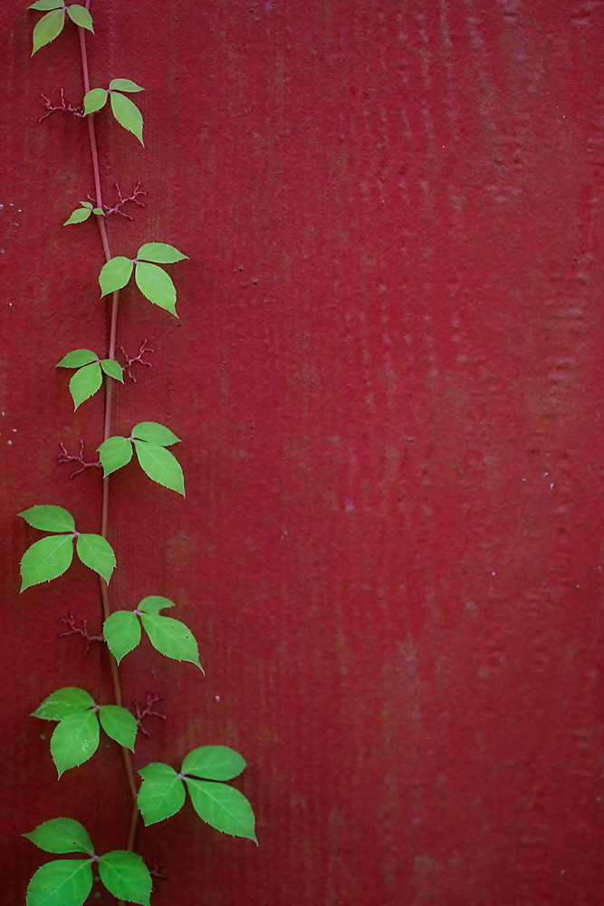 341/365 - Virginia Creeper