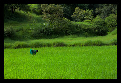 Tending the Paddy Field (Deepak Kul) Tags: monsoon farmer weeding paddyfields canon50mm aroundpune canoneos40d deepakkulkarni dhanep