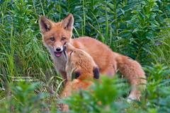 Fox Kits_MG_4143 (bud_marschner) Tags: alaska fox kit naturesfinest specanimal mcneilriver