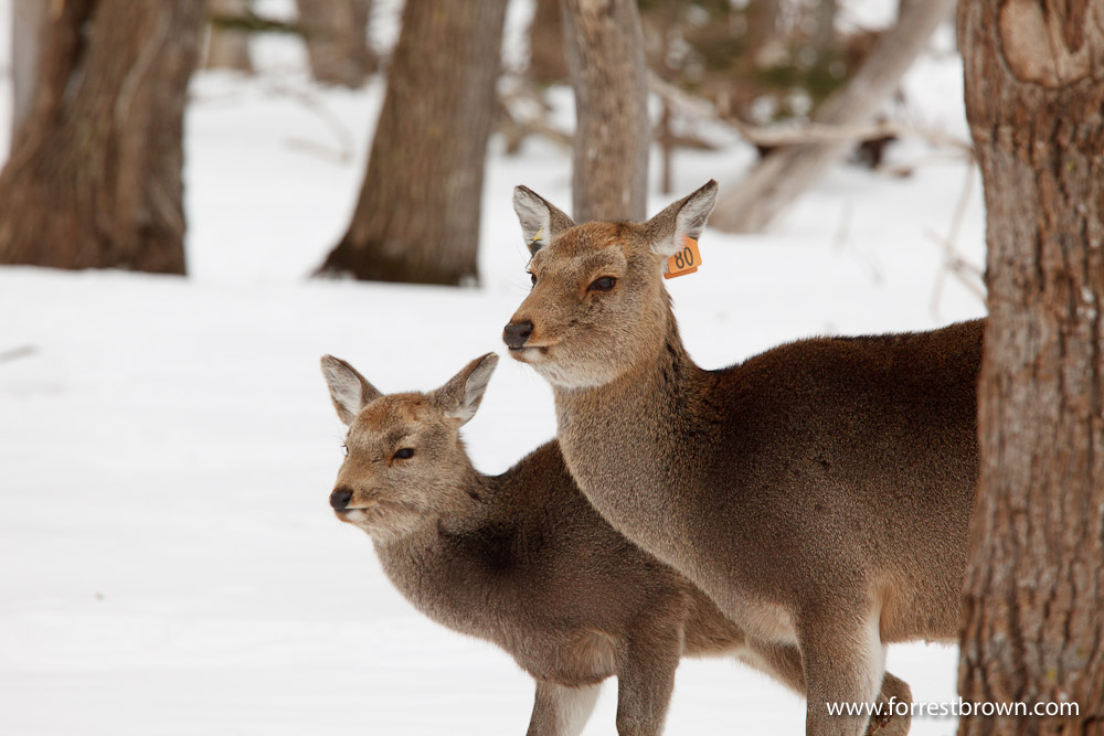 Hokkaido, Japan, Nature Photography, Workshop, Winter, Wildlife, Deer