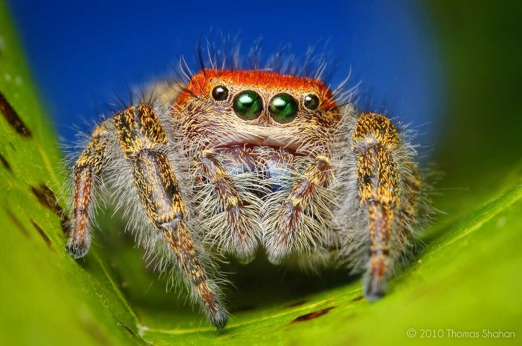 Spider close-up: Adult Female Cardinal Jumper (Phidippus cardinalis)