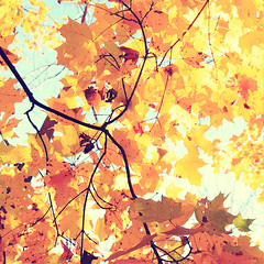 golden leaves (Shandi-lee) Tags: blue autumn sky orange brown sunlight tree fall leaves sunshine yellow gold october bright cyan crisp