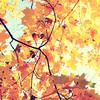 golden leaves (Shandi-lee) Tags: blue autumn sky orange brown sunlight tree fall leaves sunshine yellow gold october bright cyan crisp