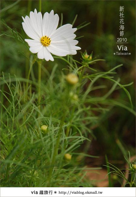 【新社花海】新社花海2010~via拍回來的最新花況11