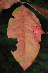 Leaf in transition