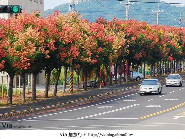 【台中】台灣秋天最美的街道!台中大坑發現美麗的台灣欒樹14