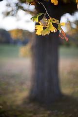 285/365 Fall tree, Rokkor version (mckenziemedia) Tags: autumn blur tree fall canon eos focus minolta bokeh 5d 365 12 dor 58mm f12 oof rokkor project365 stevemckenzie mckenziemedia 15000refrigeratorscom