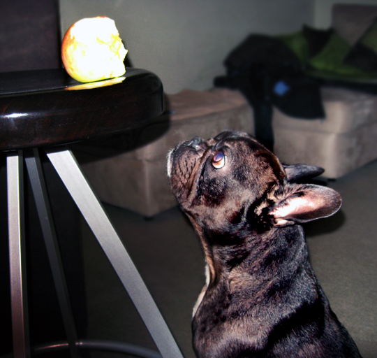french bulldog stares at apple, dogs, pets, cute dog videos, animal videos, pet videos, french bulldogs, frenchie