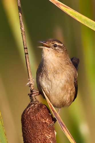 Marsh Wren on Cattail